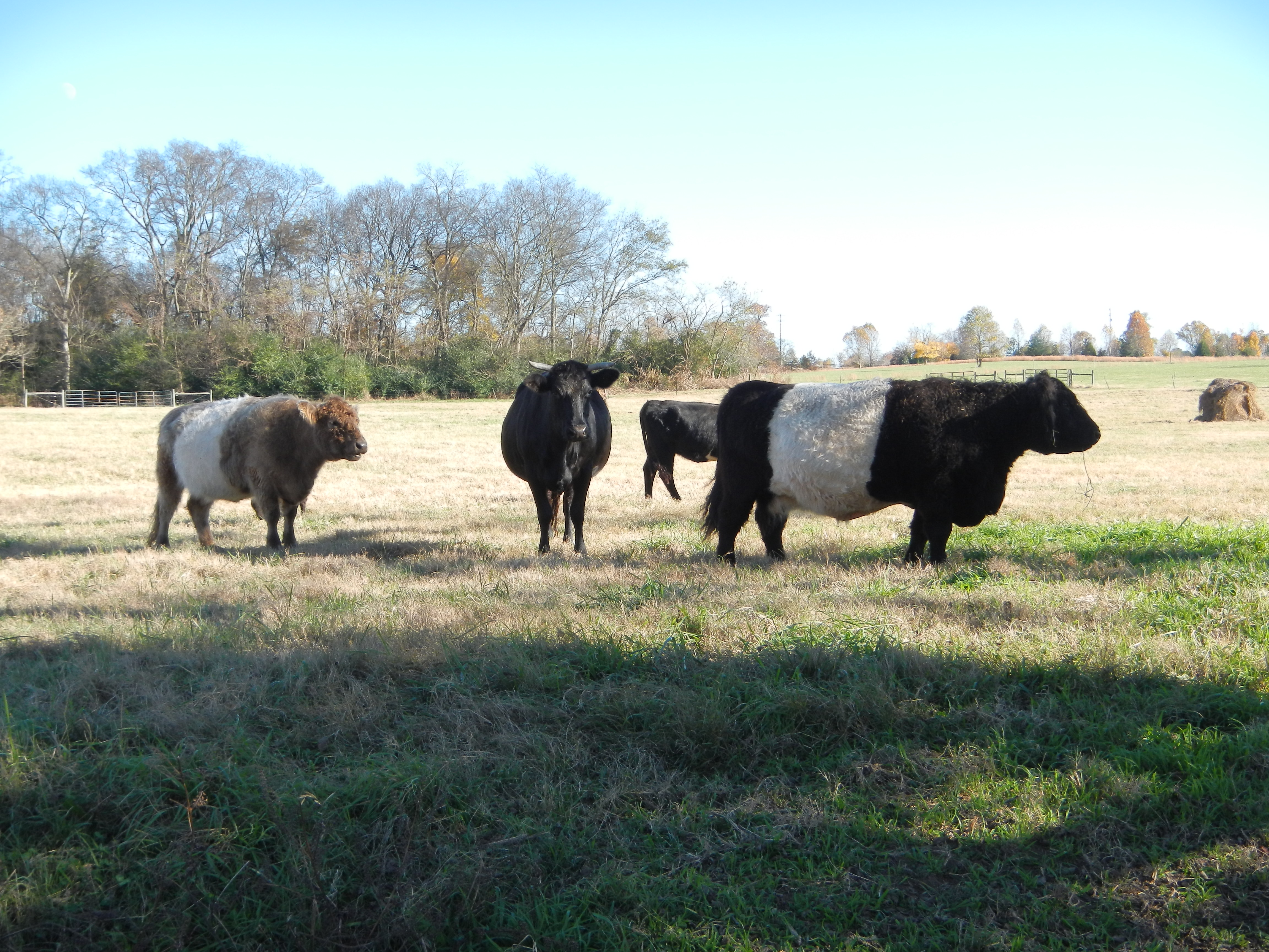 "Here are some ""Belted Galloway"" cows.  They originate from the mountainous Galloway region of Scotland."